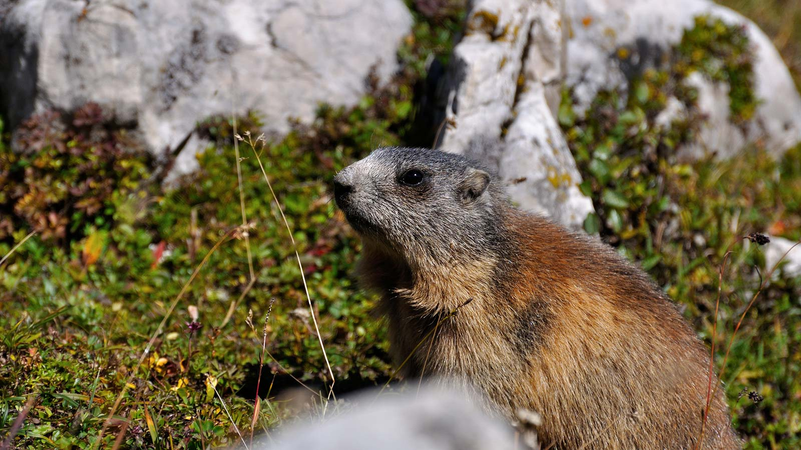 Experience.Nature: sighting of a marmot on the Dolomites