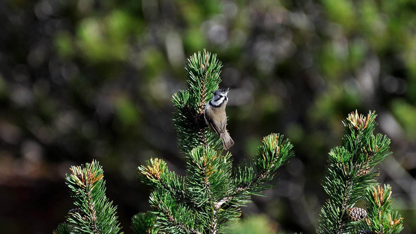 Alpine bird on a silver fir's branch