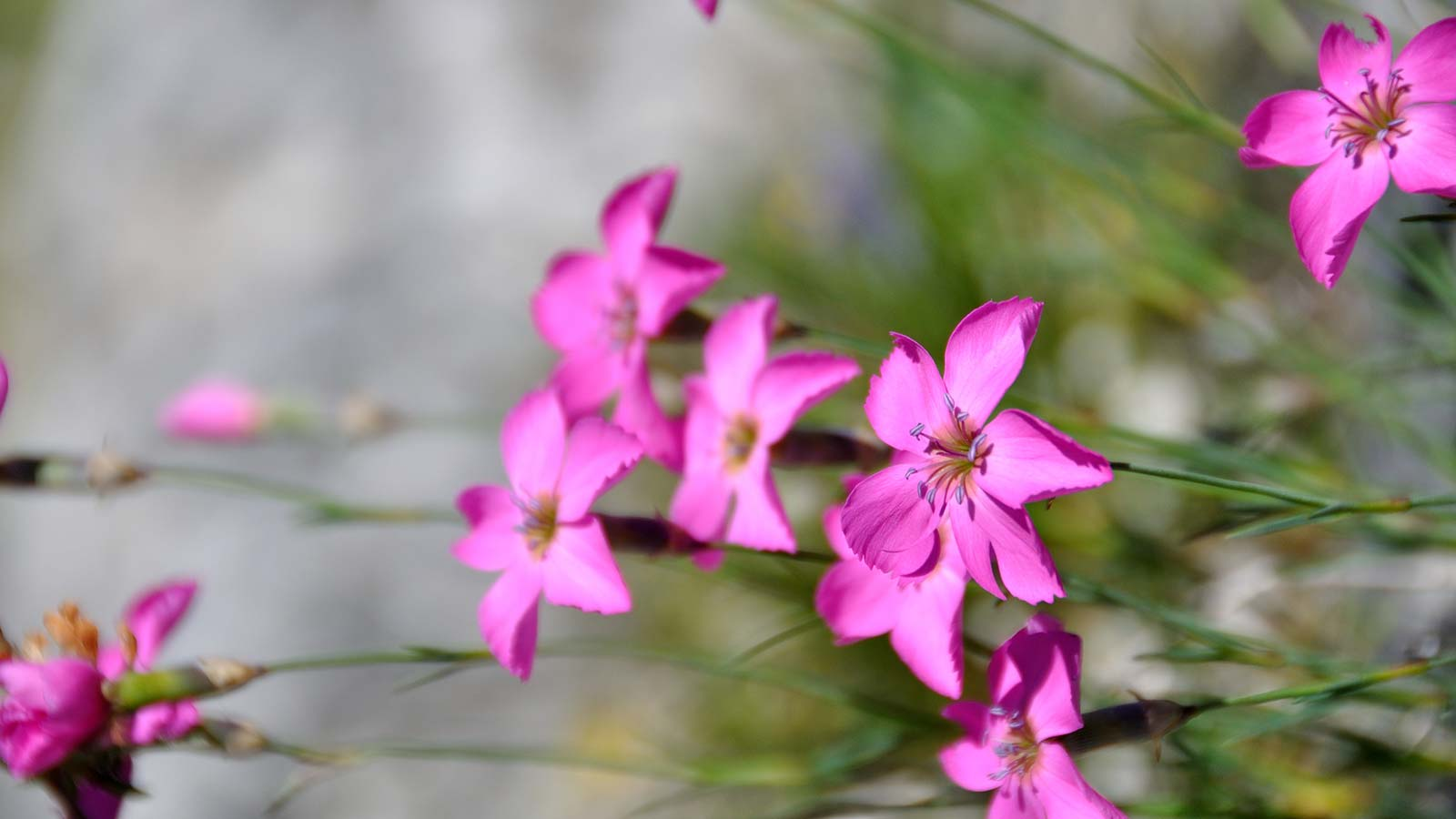 Dianthus sylvestris (Caryophyllaceae), wood pink in the Natural Park Fanes-Sennes-Braies