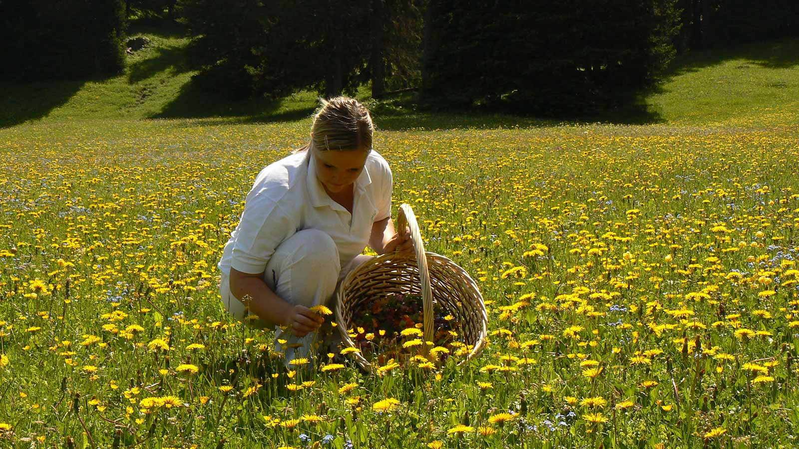Girl in a meadow collects dandelion flowers and puts them in a basket